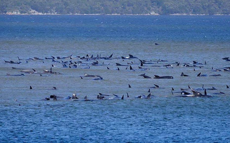 Au moins 380 baleines mortes dans le plus grand échouage massif de l'histoire de l'Australie
